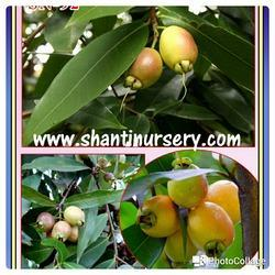 Rose Apple Fruit Plant