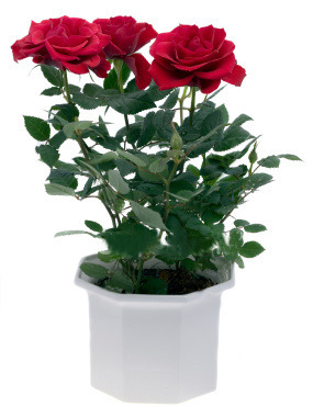 Flower plant dutch rose plant manufacturer from anand - Planting rose shrub step ...
