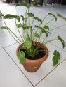 Syngonium Plant Pot