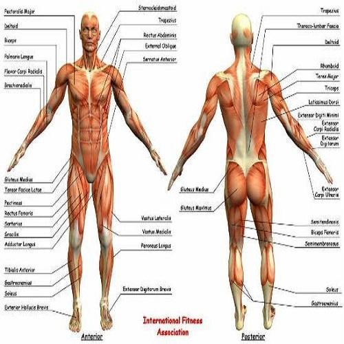 Human Anatomy Chart - View Specifications & Details of Human Anatomy ...