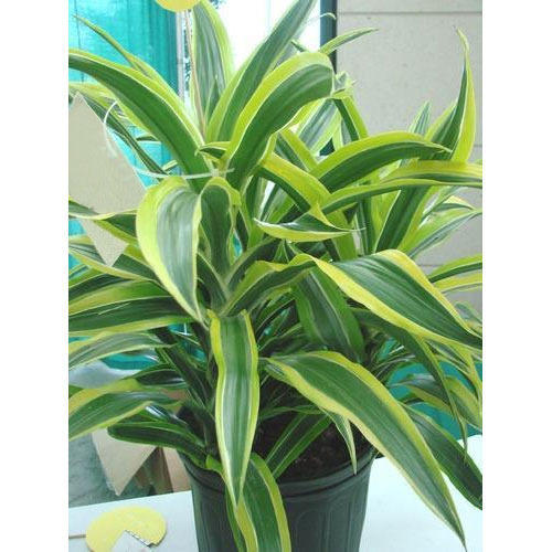dracaena fragrans plant at rs 200 plant dracaena fragrans plant av greenleafs chennai id. Black Bedroom Furniture Sets. Home Design Ideas