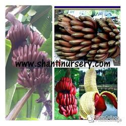 Red Banana Plant