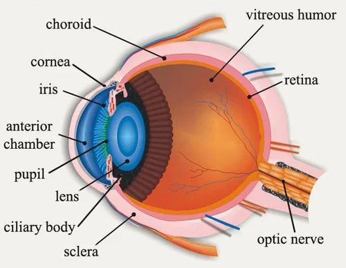 Mixed Colour Human Eye Chart Spectrum Impex Kolkata Id 13973470197