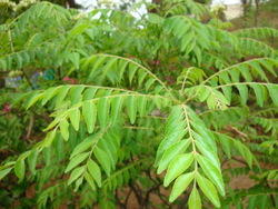 Curry Leaves in Madurai, Tamil Nadu | Get Latest Price from