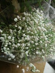 Jypsophila Fresh Flower