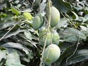 Mango Tree Wholesale Price For Mango Tree In India