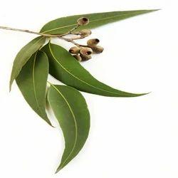 「eucalyptus leaf」の画像検索結果