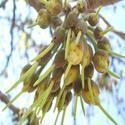 Mahua Flower