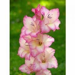 Gladiolus Flower At Rs 162 Pack Mithun Exports Chennai Id