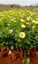 Yellow Dutch Rose Plants