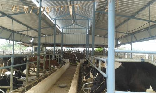 Cow Farm Manual Feeding Design Roofing Structure Shed At Rs 250 Square Feet Dairy Farm Sheds