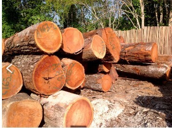 Mahogany Wood Log At Rs 900 Cubic Feet Wood Logs