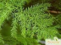 Shatavari Extract  (Asparagus Racemosus)