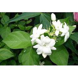 Jasminum Sambac Floral Water