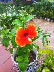 Hybrid hibiscus Plants