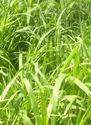 Green Fodder CO5, CO4 - Hybrid Napier Grass