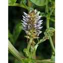 Glycyrrhiza Glabra - Mulethi Extract