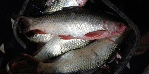 YSN Fish Market, Nandyal - Thilapia and Rohu