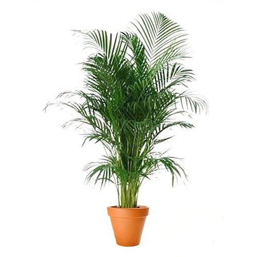 Semi Shade Plant Areca Palm Plants Manufacturer From Pune