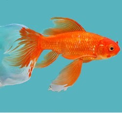 Every Gold Fishes, Size: Medium