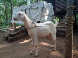 Malabari Goat - Wholesale Price for Malabari Goat in India