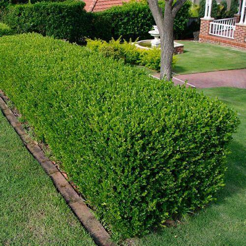 Hedge Plant At Rs 10 Piece À¤¬à¤— À¤š À¤• À¤² À¤ À¤ª À¤§ À¤¬à¤— À¤š À¤• À¤ª À¤§ À¤— À¤° À¤¡à¤¨ À¤ª À¤² À¤Ÿ Mondal Nursery Kolkata Id 13547002855