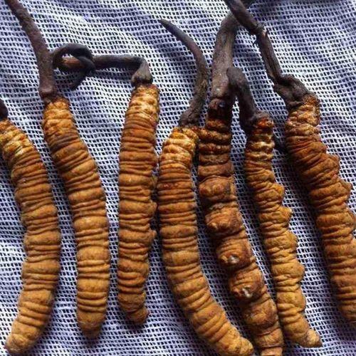 Scope Of Cordyceps Mushroom
