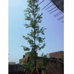 Ashoka Artificial Tree