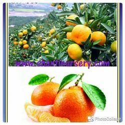 Orange Newsellar Fruit Plant