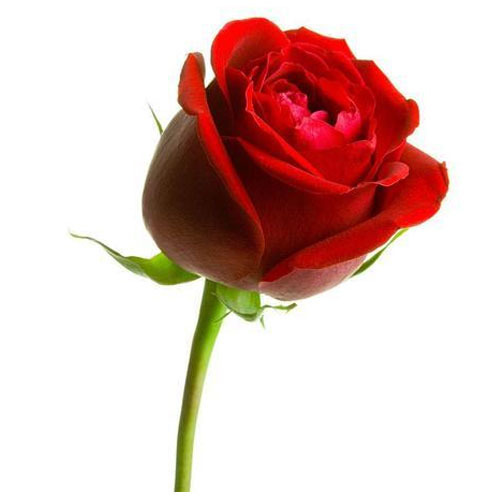 Rose Flower At Rs 20 Piece Valagam Madurai Id 13280605530