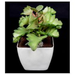 Bryophyllum Bonsai(AP-20)