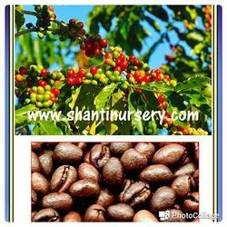 Coffee Fruit Plant