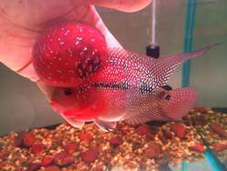 Vasthu Fishes