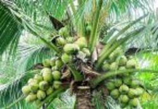 Coconut Garden For Sale