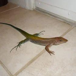Lizard Management Services