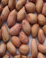 Peanut Bold 40-50