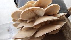 Oyster Mushroom, Pesticide Free  (for Raw Products), Packaging: Carton