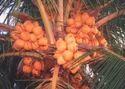 Draft ( Kuttai) Coconut