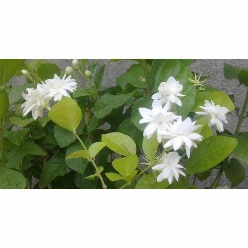 Mogra Plant Flower Plants Mahalaxmi Gardeners Group Mumbai Id
