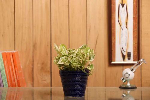 Nurturing Green Indoor Plant White Pothos Ceramic Pot