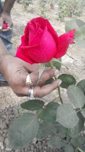 rose flower at rs 100 /pack | flowers - mohit agro industries