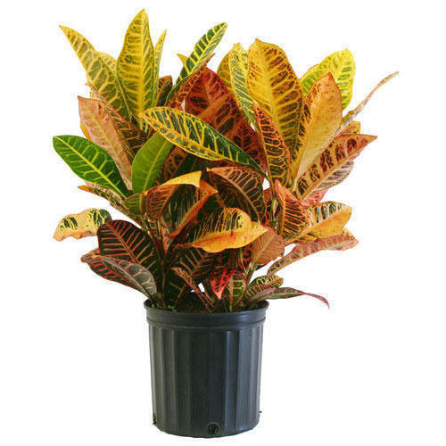 Petra Croton Decorative Plant
