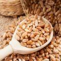 Sharbati Wheat Grain