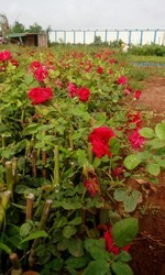 Shirdi Open Field Rose Plants