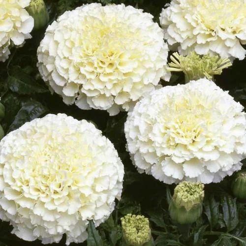 Vanilla marigold flower at rs 40 kilogram marigold flower id vanilla marigold flower mightylinksfo
