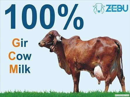 PURE GIR COW MILK and Desi Gir Cow Ghee Wholesaler   Choudhary Dairy