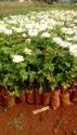 Avilanche Dutch Rose Plants