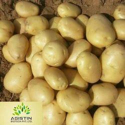 Yellow Gujarat Badshah Potato, Packaging Type: Mesh Bag