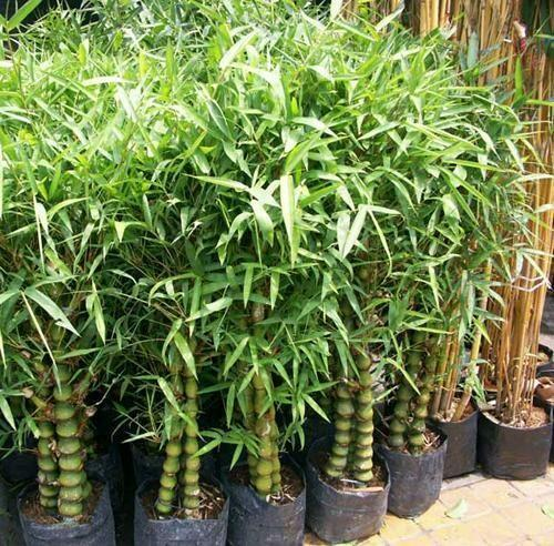 Dwarf Bamboo Green