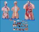Human Torso Unisex Models